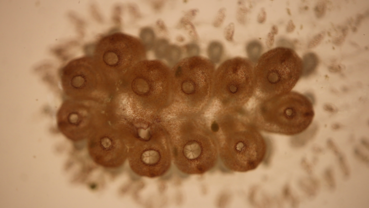 Regenerative research on Tunicates in Switzerland